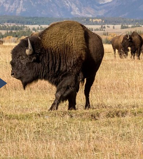 The Story Behind the Buffalo